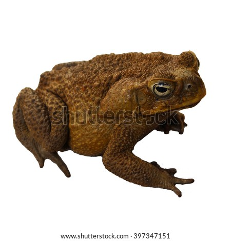 Frog isolated on white background, toad isolated on white, brown toad, big brown frog, tree frog isolated, tropical animal clipart, frog close up, tropical animal isolated - stock photo