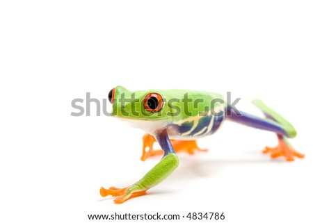 frog isolated on white, closeup of a red-eyed tree frog (Agalychnis callidryas) - stock photo