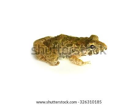 Frog isolated white background - stock photo