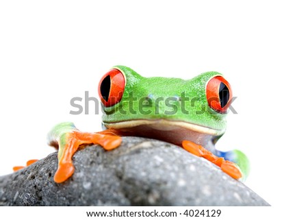 frog looking over rock - a red-eyed tree frog (Agalychnis callidryas) closeup isolated on white - stock photo