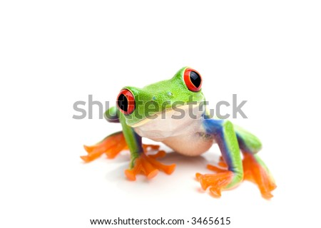 frog macro - a red-eyed tree frog (Agalychnis callidryas) isolated on white - stock photo