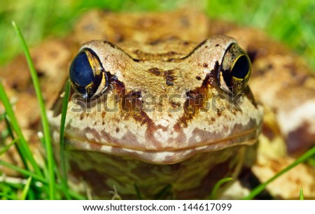 frog macro picture on a summer day - stock photo