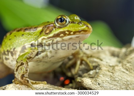 Frog Monitor  - stock photo
