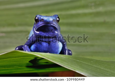 frog of amazon rainforest, blue animal of tropical jungle - stock photo