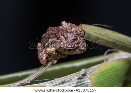 Frog on a flower branches , Closeup on a tree frog, Kundasang, Borneo , Close-Up of Frog on flower branches ,  - stock photo