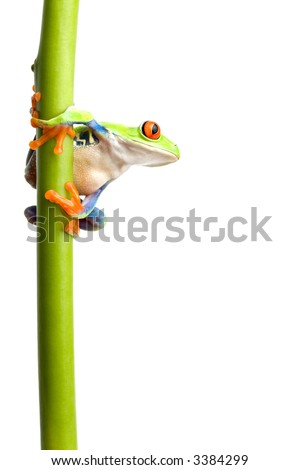 frog on a green plant stem isolated on white, a red-eyed tree frog (Agalychnis callidryas) closeup - stock photo