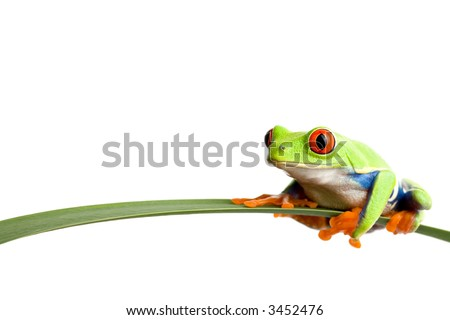 frog on a leaf - a red-eyed tree frog (agalychnis callidryas) closeup, sitting on a long leaf, isolated on white with ample copyspace - stock photo