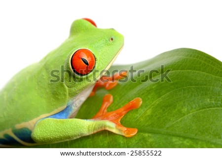 frog on a leaf closeup isolated on white - red-eyed tree frog Agalychnis Callidryas