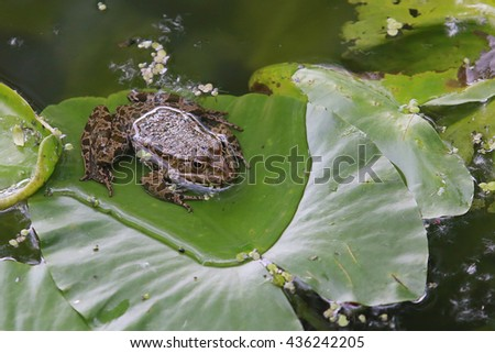 frog on a leaf in a pond - stock photo
