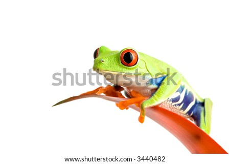 frog on a leaf isolated on white, a red-eyed tree frog (Agalychnis callidryas) perched on the leaf of a guzmania, closeup. - stock photo