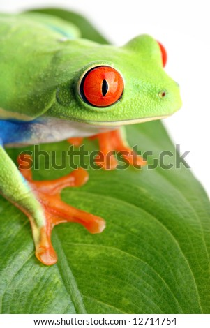frog on a leaf isolated on white. Agalychnis callidryas.
