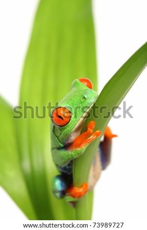 frog on a leaf isolated on white - Agalychnis callidryas - stock photo