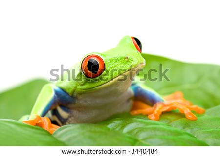 frog on a leaf - red-eyed tree frog (Agalychnis callidryas) sitting on a leaf, close up isolated on white - stock photo