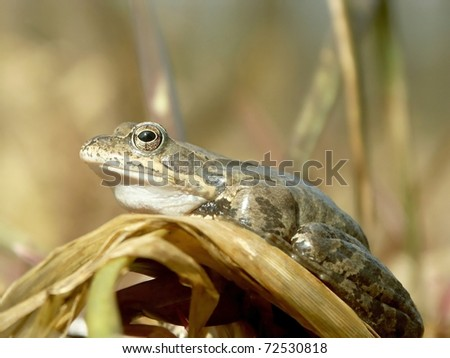 Frog on a reed is preparing to jump. - stock photo