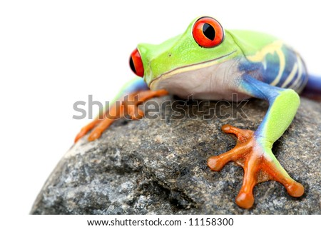 frog on a rock - a red-eyed tree frog (Agalychnis callidryas) closeup isolated on white - stock photo