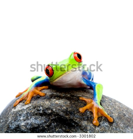 frog on a rock, a red-eyed tree frog (Agalychnis callidryas) closeup isolated on white - stock photo