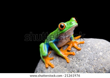 frog on a rock closeup isolated on black. Red-eyed tree frog. - stock photo
