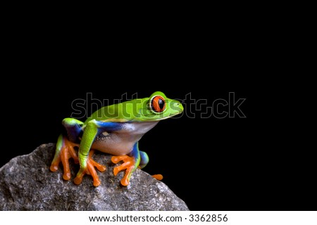 frog on a rock isolated on black background, red-eyed tree frog (Agalychnis callidryas) - stock photo