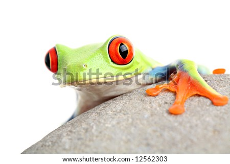 frog on a rock isolated on white - a red-eyed tree frog (Agalychnis callidryas) - stock photo
