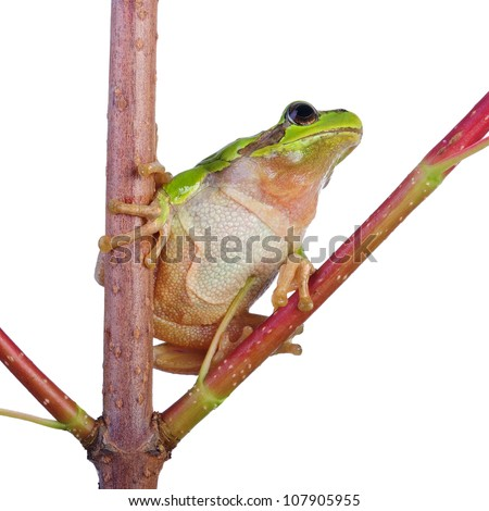 frog on branch. isolated on white - stock photo