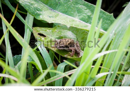 Frog on grass leaf morning dew - stock photo