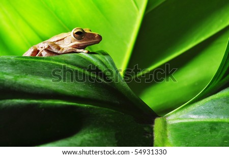 frog on green leaf - stock photo