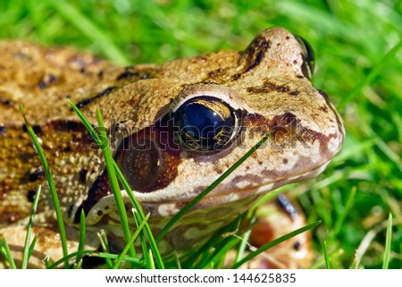 frog on he grass on a summer day - stock photo