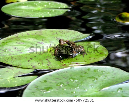 Frog on Lily Pad - stock photo