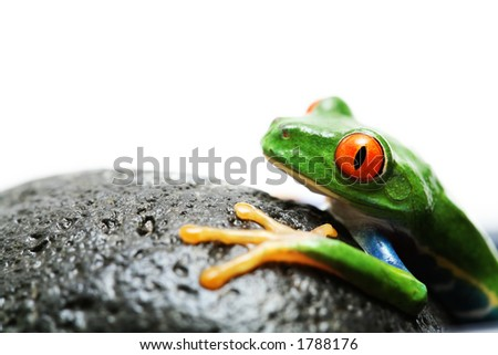 frog on rock. red-eyed tree frog, macro isolated over white with focus on eye. - stock photo