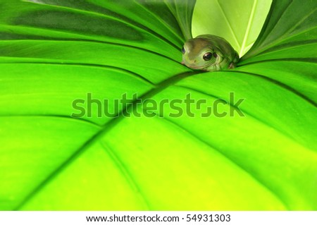 frog on the leaf - stock photo
