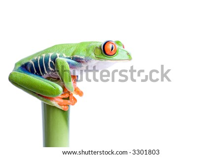 frog on top of bamboo, red-eyed tree frog (Agalychnis callidryas) closeup isolated on solid white - stock photo