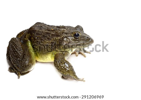Frog on White  - stock photo