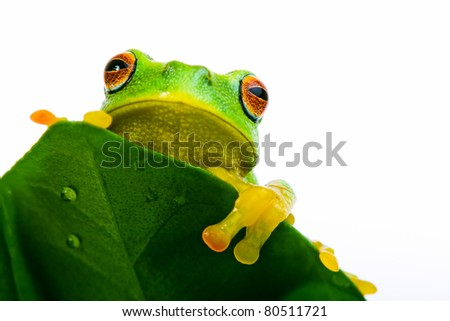 Frog peeking out from behind the wet leaf - stock photo