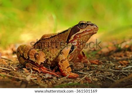 Frog, Rana arvalis, in the grass, nature habitat, Czech Republic - stock photo
