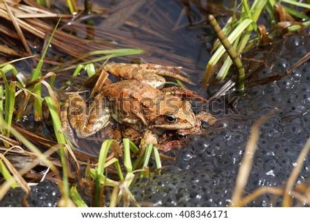 frog red eggs deposition breeding  season amphibian italy - stock photo