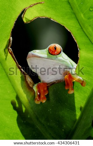 frog red eyes, posing in a circle of leaves