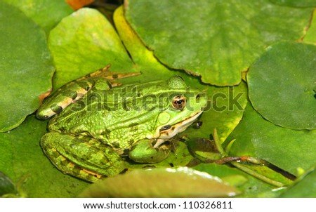 frog resting on a lotus leaf.