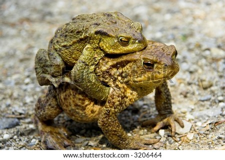 Frog's love - stock photo