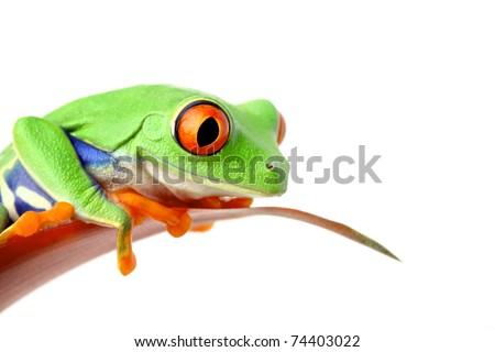 frog sitting on a leaf looking down - isolated on white - stock photo