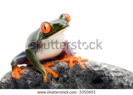 frog sitting on a rock, a red-eyed tree frog (Agalychnis callidryas) closeup isolated on white with limited dof - focus on eye - stock photo