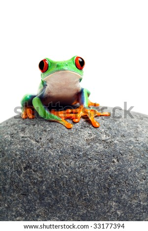 frog sitting on a rock close up isolated on white - red-eyed tree frog Agalychnis callidryas