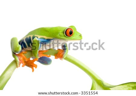 frog sitting on a stem isolated on white, red-eyed tree frog (Agalychnis callidryas) - stock photo