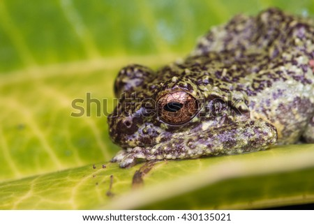 Frog staying on leaf , Frog of Borneo