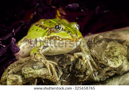frog under the leaves - stock photo