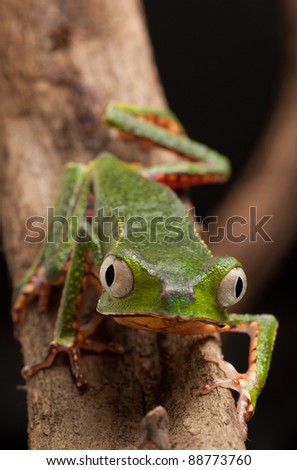 frog with big eyes on branch of a tropical tree in amazon rainforest. Macro of beautiful night animal in rain forest jungle of south america. - stock photo
