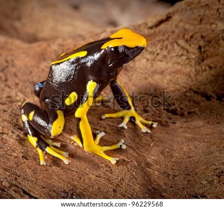 frog with bright orange spots Dendrobates tinctorius poison dart frog of amazon rainforest - stock photo
