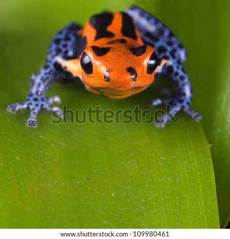 Frog with red lines and blue legs, poison dart frog of amazon rain forest in Peru, poisonous animal of tropical rainforest, pet in terrarium - stock photo