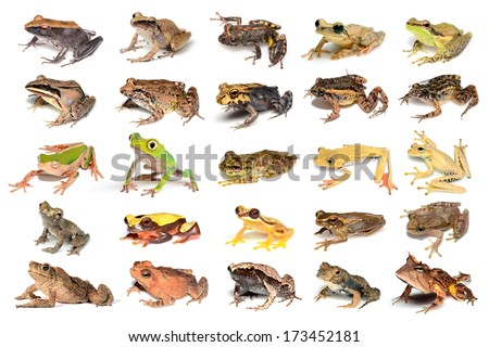 Frogs and toads of Madre de Dios - stock photo