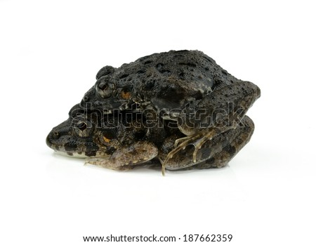 frogs mating on a white background - stock photo