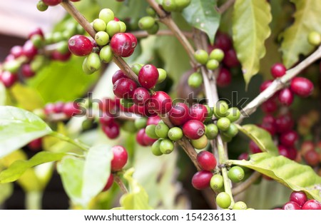 From coffee, coffee beans, fresh green leaves. - stock photo